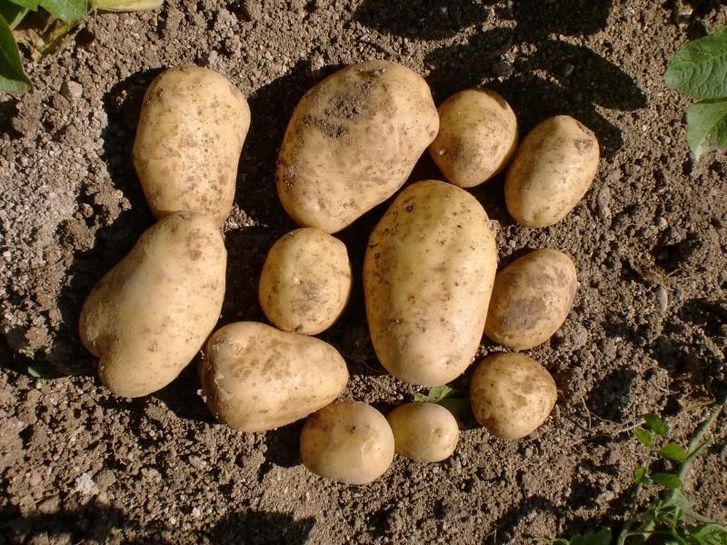 prix des patates 2013 - Page 2 Cimg4810