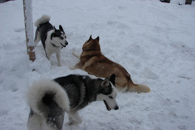 The Three Huskyteers FINALLY got their snow! 01710
