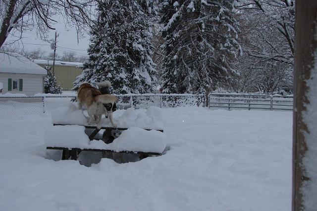 The Three Huskyteers FINALLY got their snow! 02010