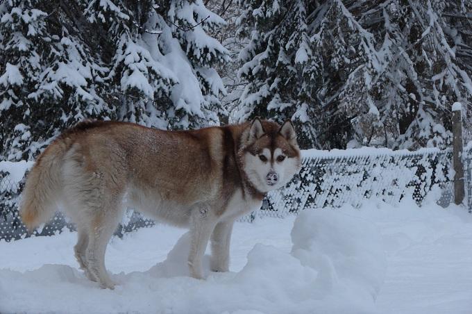 The Three Huskyteers FINALLY got their snow! 02510