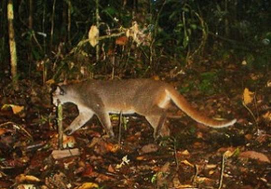 zoology zoologie thylacine loup marsupial tigre de tasmanie catopuma badia bornéo photographie espèce éteinte en voie de disparition menacée forum félin cryptozoologie chat bai de Bornéo