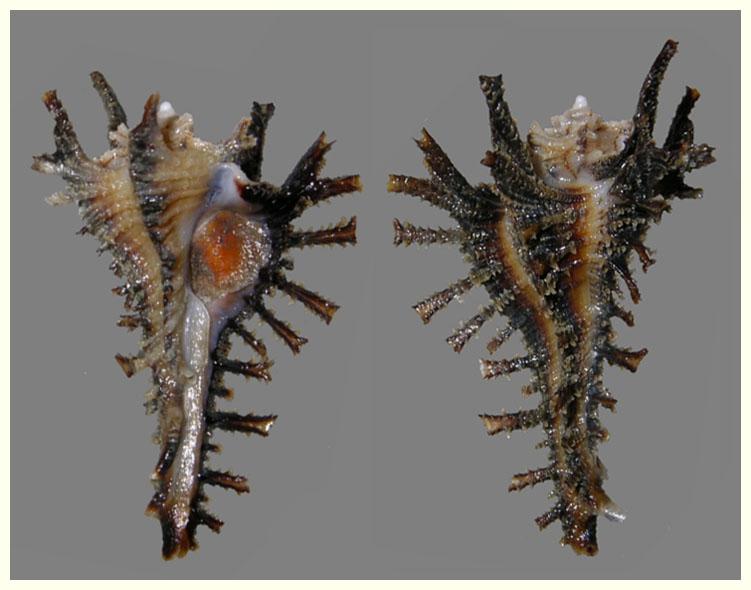 Homalocantha vicdani - D'Attilio & Kosuge, 1989 H_vicd10