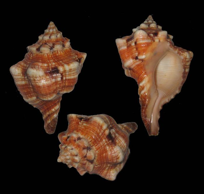 Pleuroploca clava - (Jonas, 1846) Plorop10