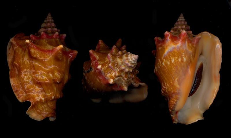 Strombidae Thetystrombus latus - (Gmelin, 1791) Portog10