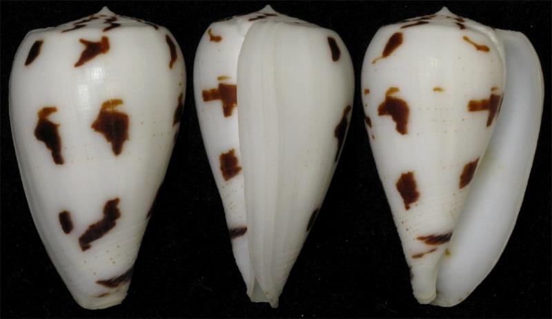 Conus (Phasmoconus) pica   Adams & Reeve, 1848 Spectr10