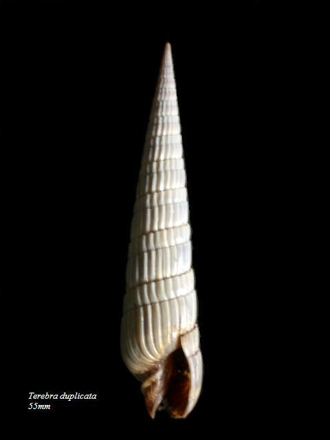 Duplicaria duplicata - (Linnaeus, 1758) Terebr10