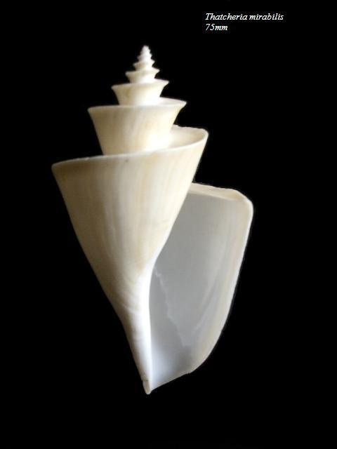 Thatcheria mirabilis - Angas, 1877 Thatch10