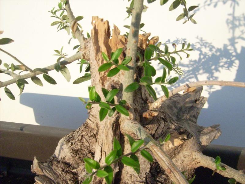 ramo verticale e frontale di olivastro Dsci0015