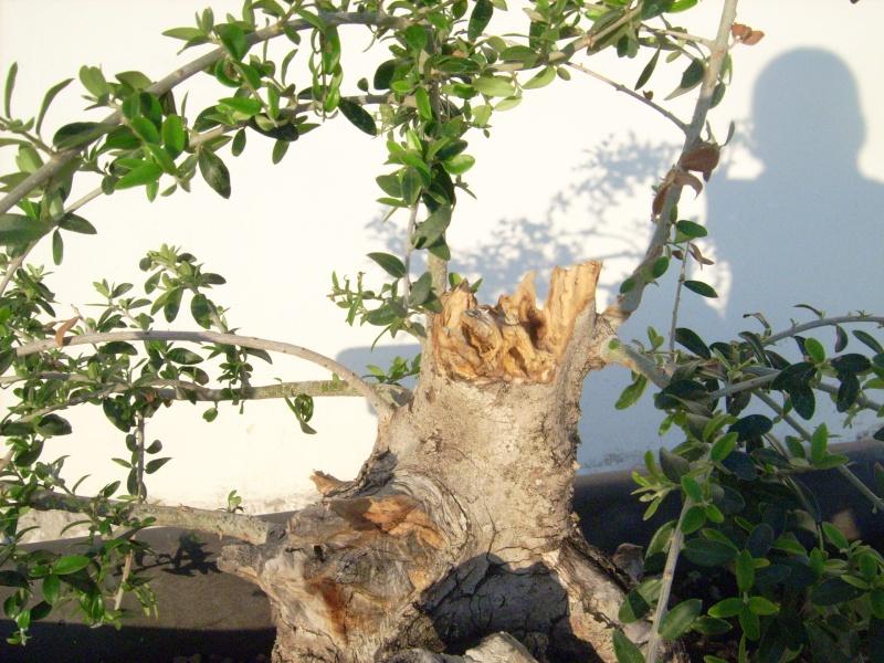 ramo verticale e frontale di olivastro Dsci0017