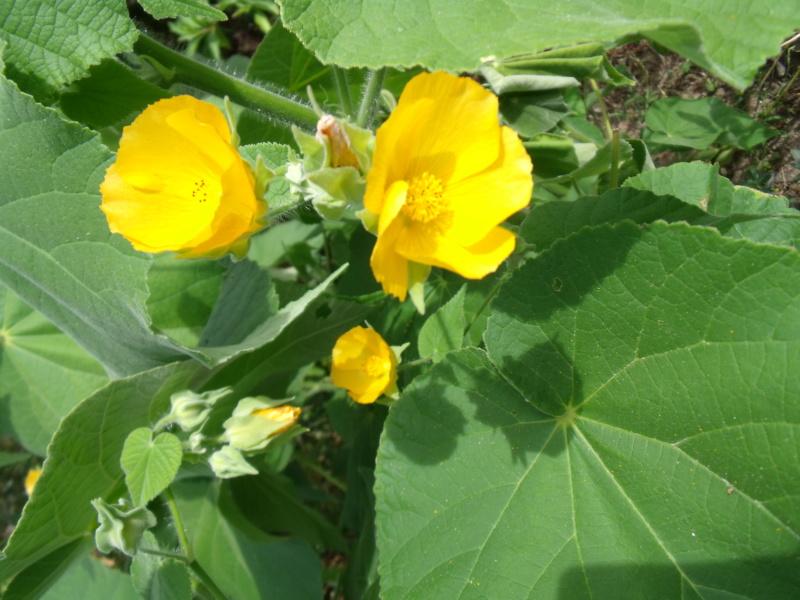 Abutilon grandifolium Abutil10