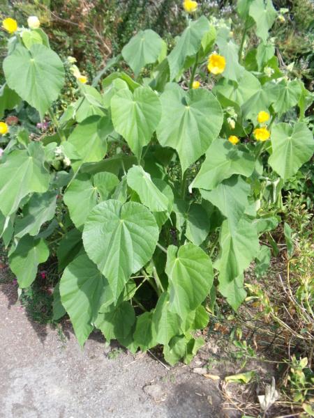 Abutilon grandifolium Abutil11