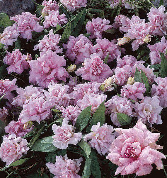 Calystegia hederacea  'Flore Pleno' Calyst10