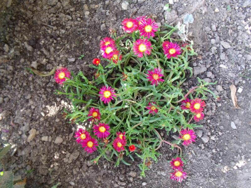 Delosperma cooperi et cultivars - pourpier de Cooper Delosp10
