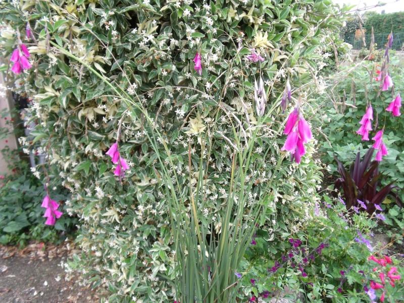 Dierama pulcherrimum Dieram10