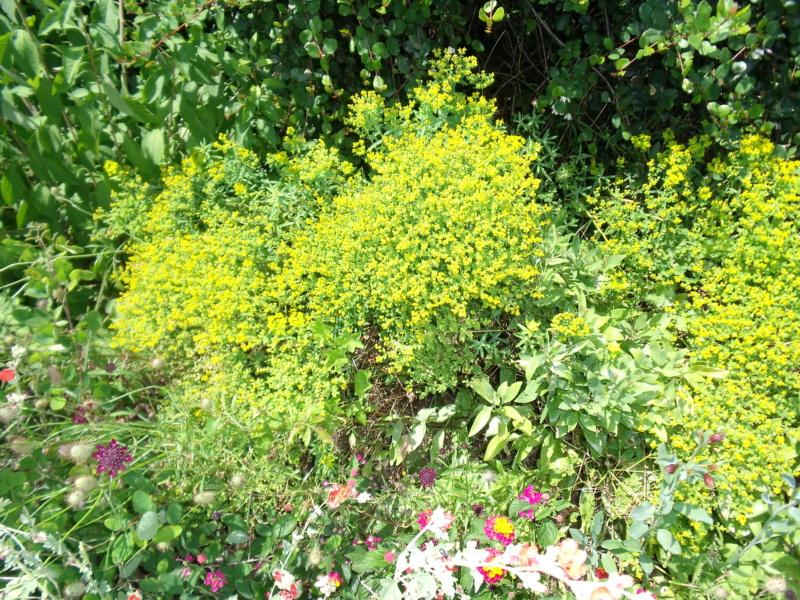 Euphorbia seguieriana ? [Identification non terminée] Dscf1910