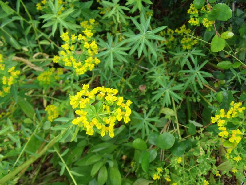 Euphorbia seguieriana ? [Identification non terminée] Dscf1914