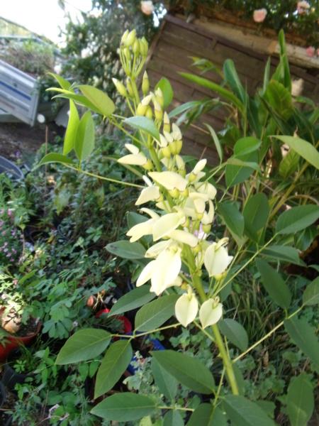Erythrina crista-galli - Page 15 E_leuc10