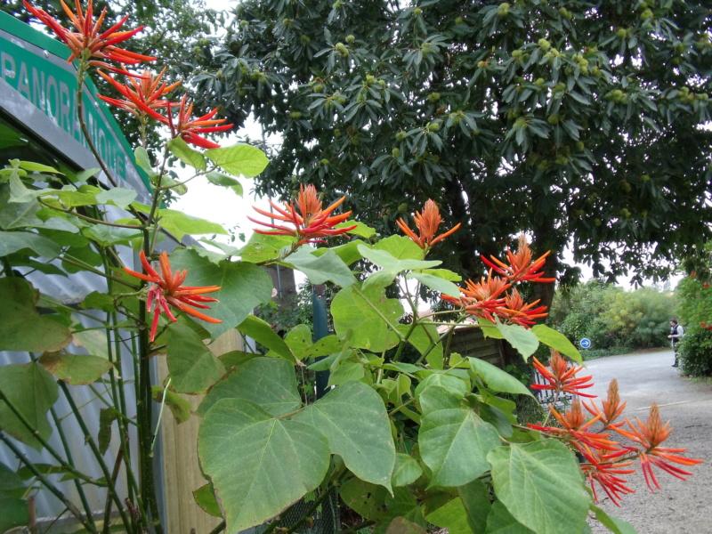 Erythrina longipes  (= Erythrina montana) E_mont10