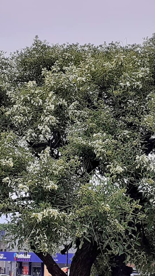 Erythrina crista-galli leucochlora Erythr14