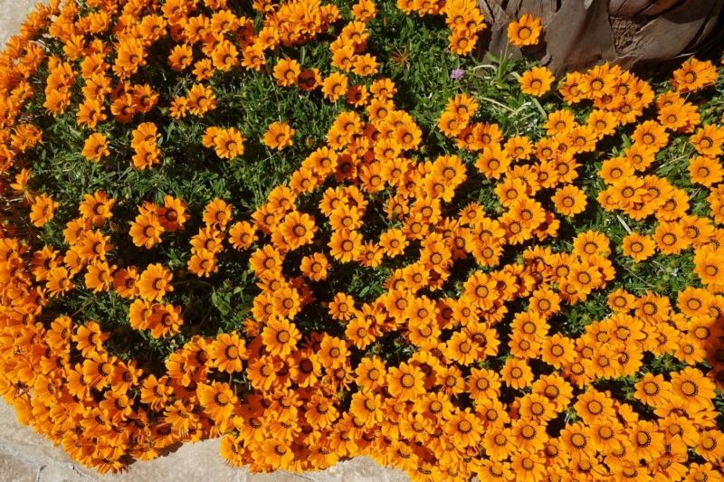 Gazania - espèces et cultivars Gazani10