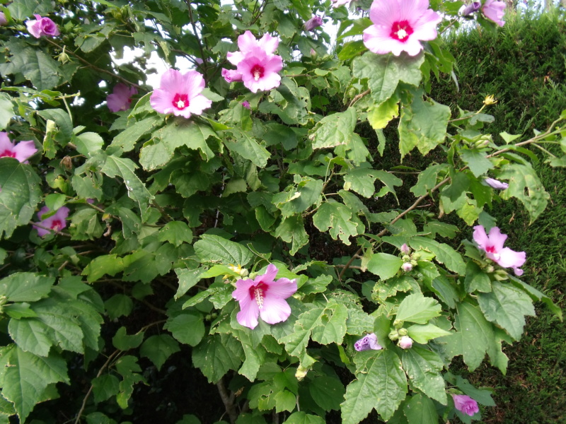 Hibiscus sinosyriacus ou pas ? Hibisc11