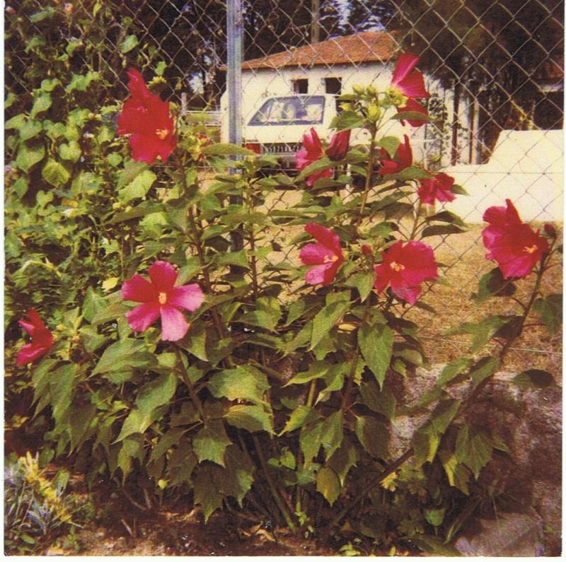Hibiscus des marais rustiques - sujet général - Page 6 Hibisc13