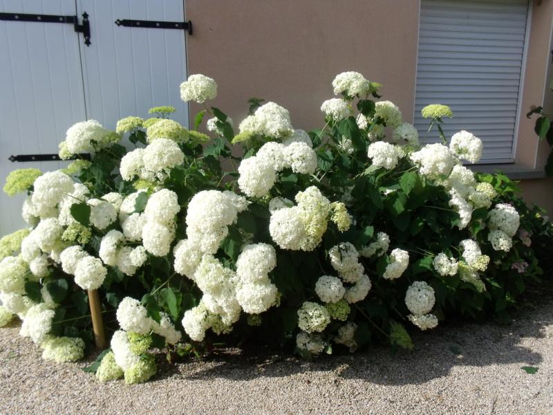 Hydrangea arborescens 'Annabelle' Horten10