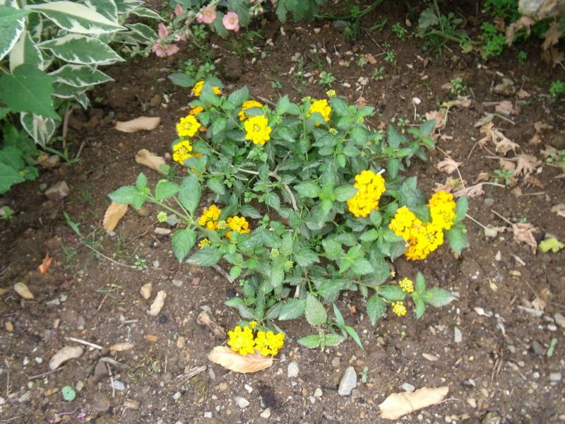 Lantana montevidensis (= Lantana sellowiana) Lantan14