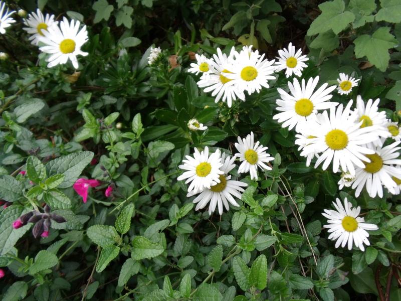 Identification d'une vivace a fleurs de Marguerite - Nipponanthemum nipponicum [Identification] Margue10