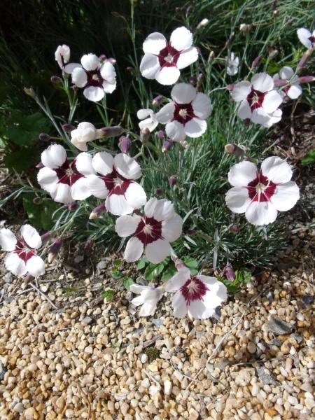 Dianthus 'Elizabethan Pink' [devinette] Oeille10