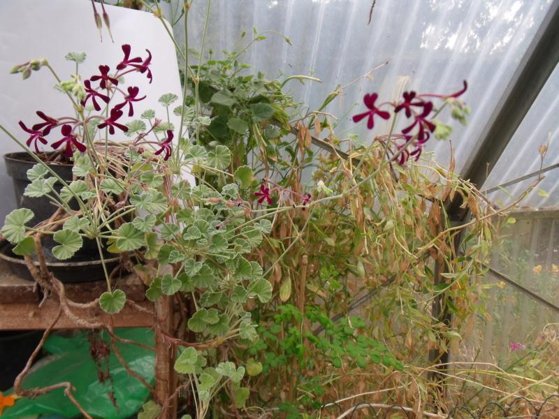 Pelargonium sidoides Pzolar10