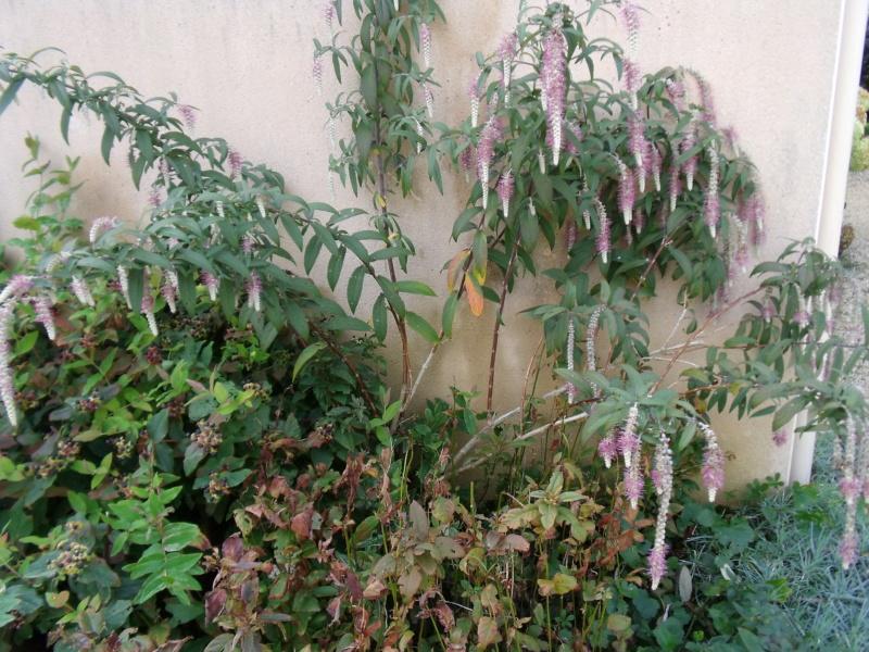Rostrinucula dependens - menthe en arbre - Page 2 Rostri10