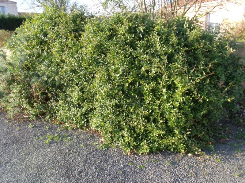 Solanum jasminoides - faux-jasmin - Page 4 Solanu10