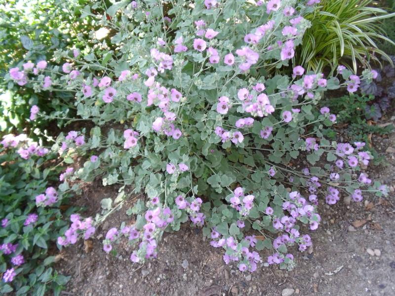 Sphaeralcea obtusifolia Sphaer10