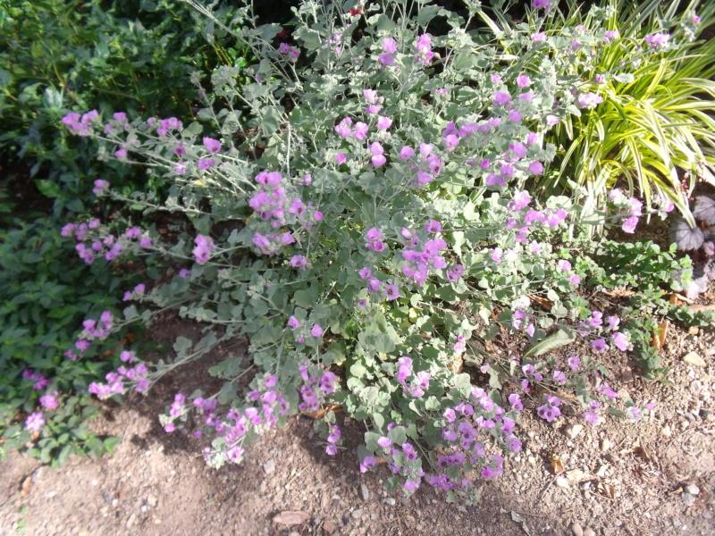 Sphaeralcea obtusifolia Sphaer11