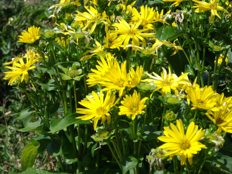 Silphium le genre  Sylphi10