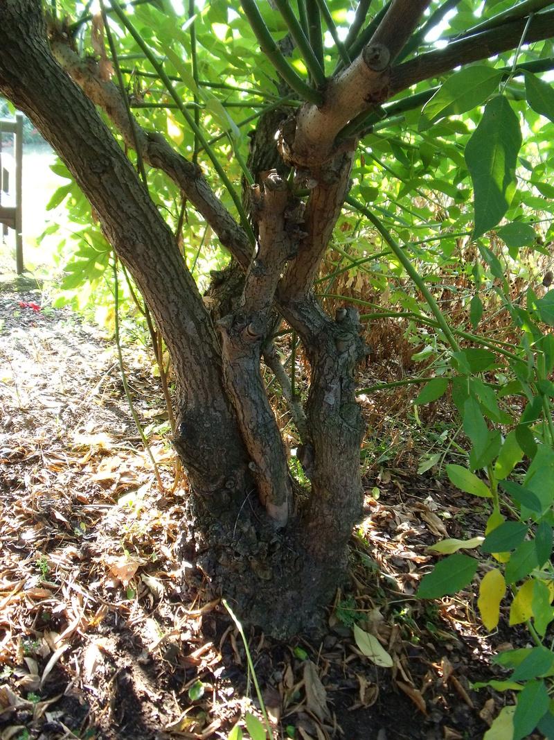 Erythrina crista-galli - Page 5 Tronc_10
