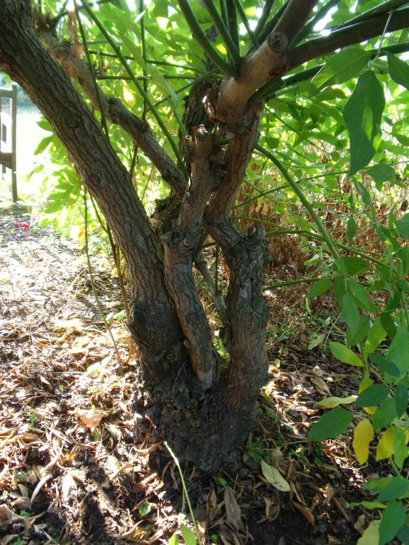 Erythrina crista-galli - Page 14 Tronc_13