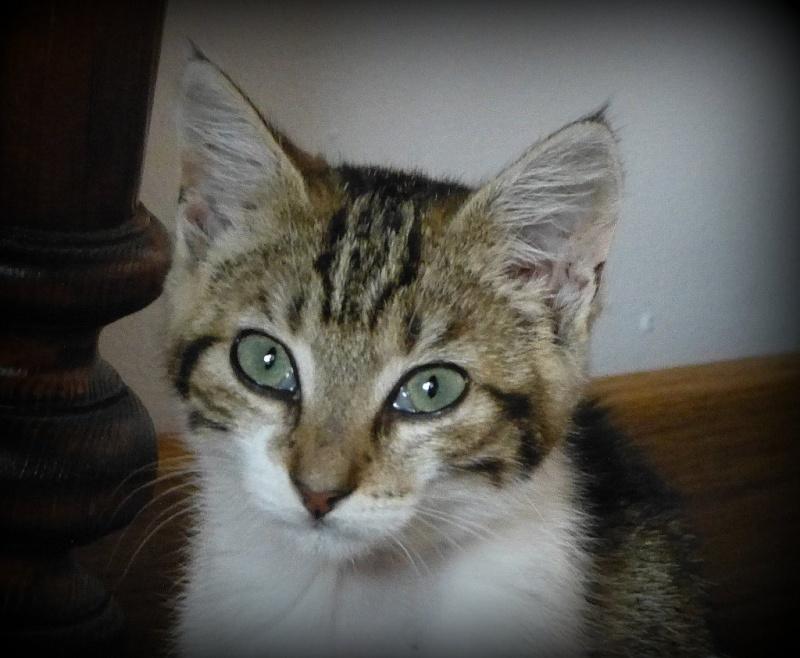 HINDI, femelle blanche et tigrée née le 20/05/2012 (BDS-35) P1000814