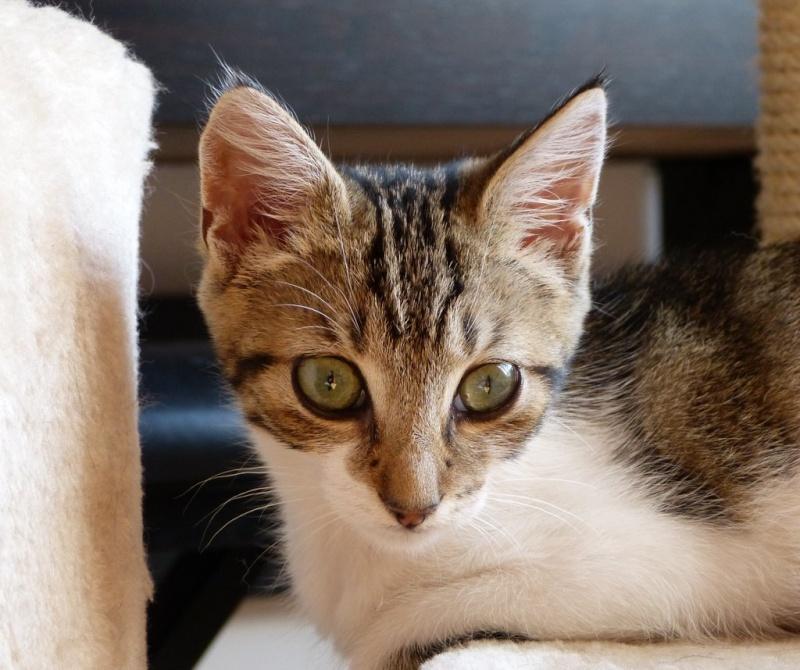 HINDI, femelle blanche et tigrée née le 20/05/2012 (BDS-35) P1010216