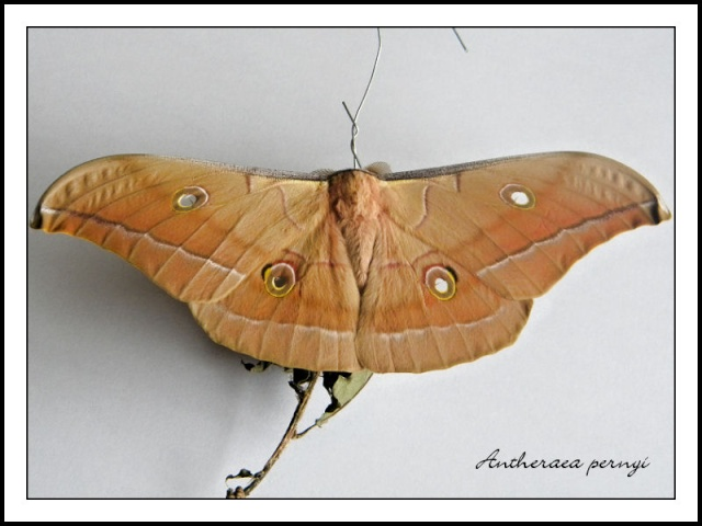 [Antheraea pernyi] Anther15