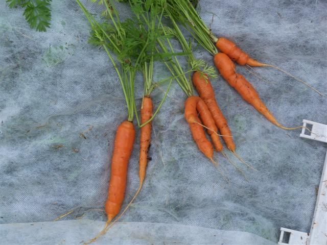 My first carrots picked today, July 19th. 07-19-10