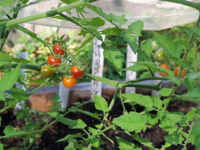 Growing Heirloom Tomatoes 07-28-11