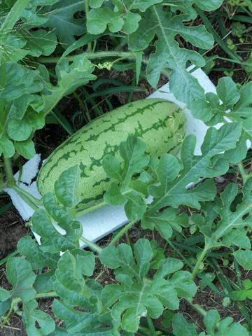 I found a lovely watermelon under the leaves. 08-02-10