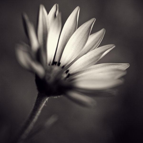 ♣. Petit Astre Flower10