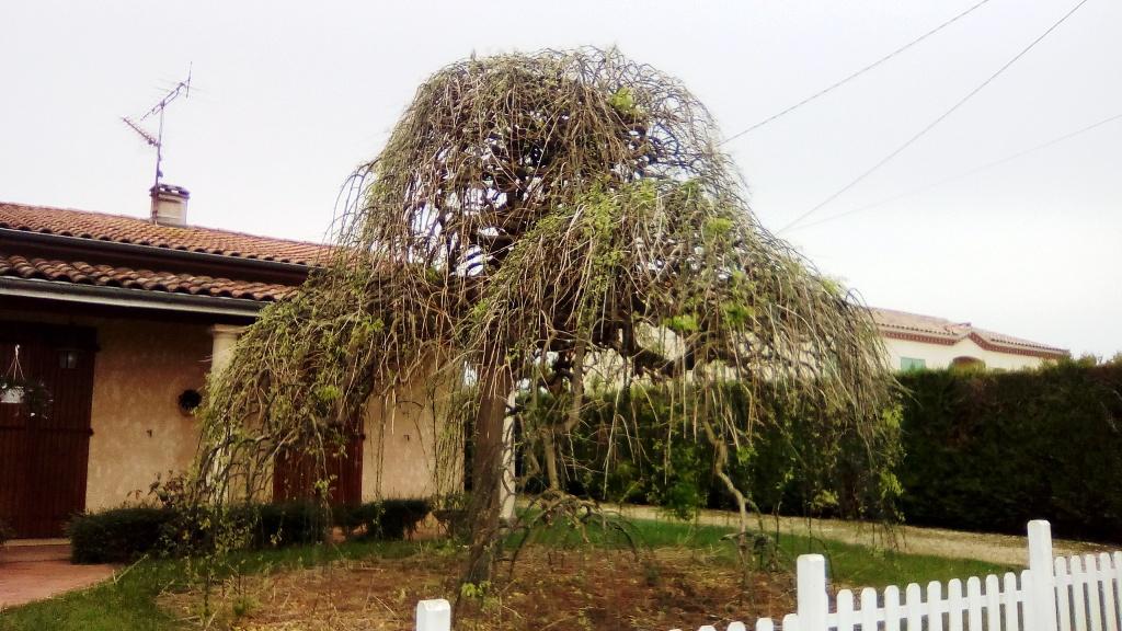 Un arbre japonais ? 11111