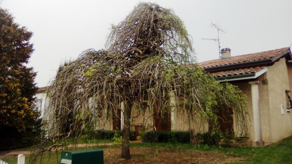 Un arbre japonais ? 11211
