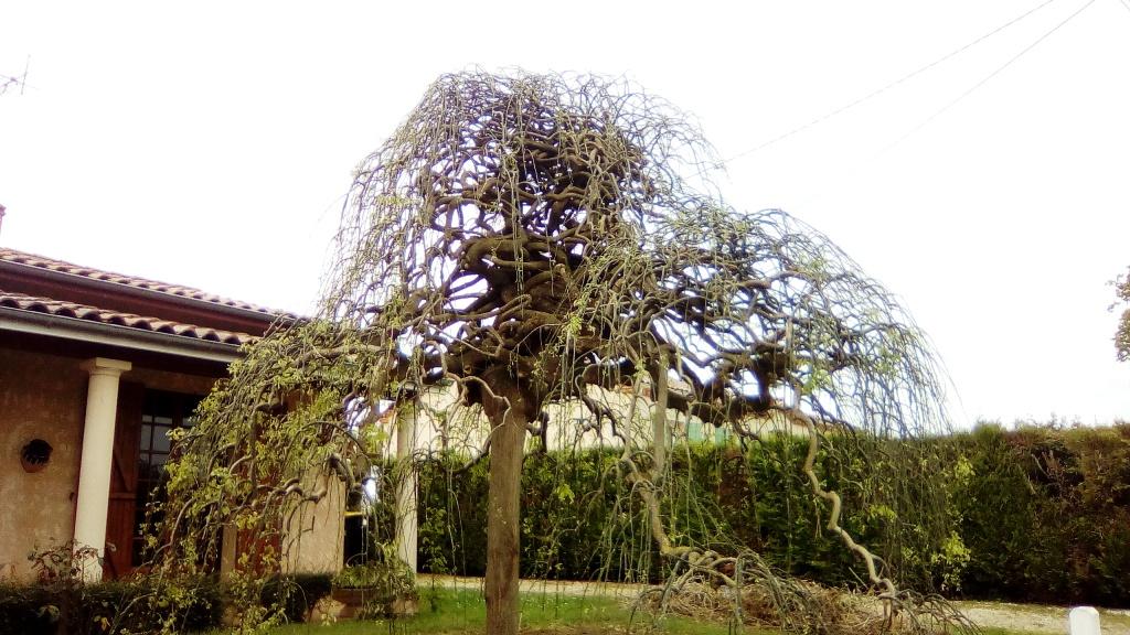 Un arbre japonais ? 11412