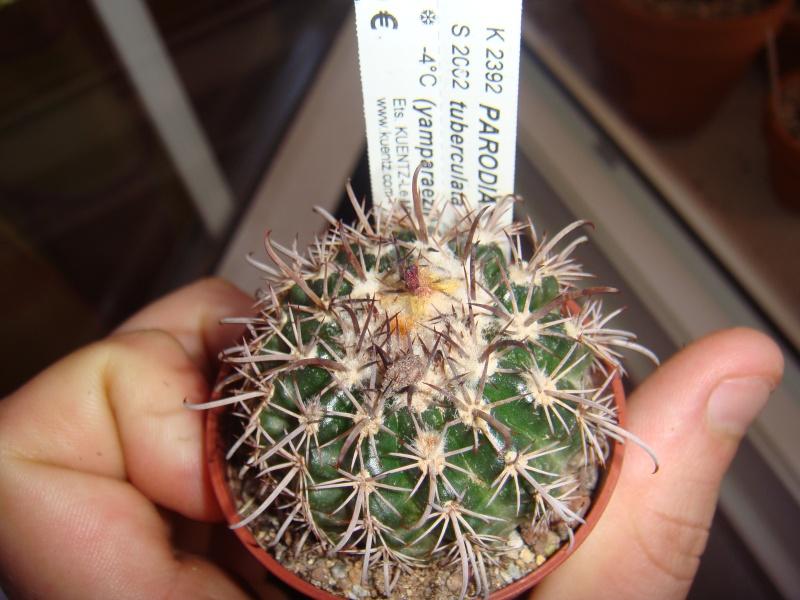 Parodia tuberculata Dsc00715