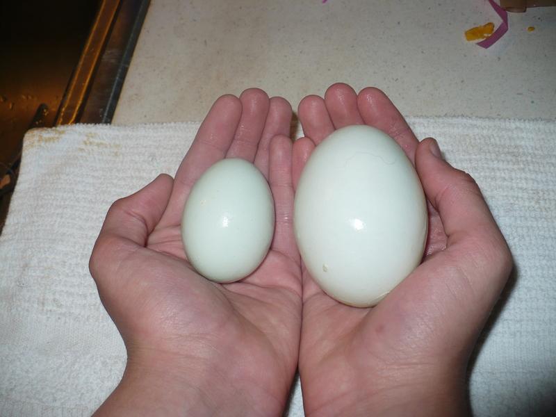 New chicks P1010810